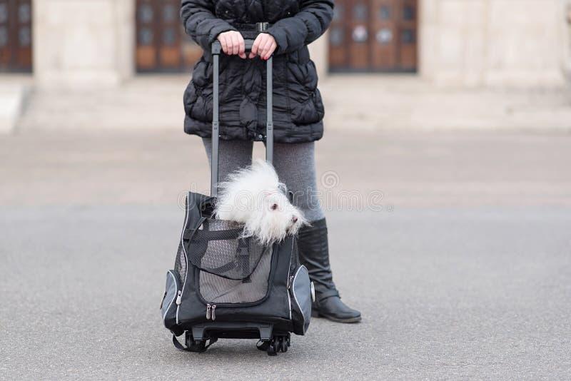 De hond van Bichonhavanese in zak stock foto