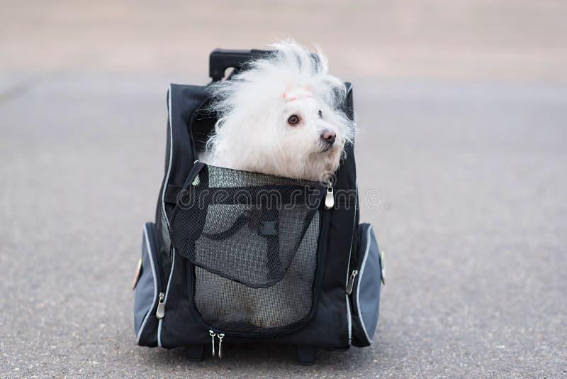 De hond van Bichonhavanese in zak stock foto's