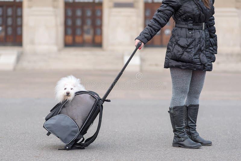 De hond van Bichonhavanese in zak royalty-vrije stock foto's