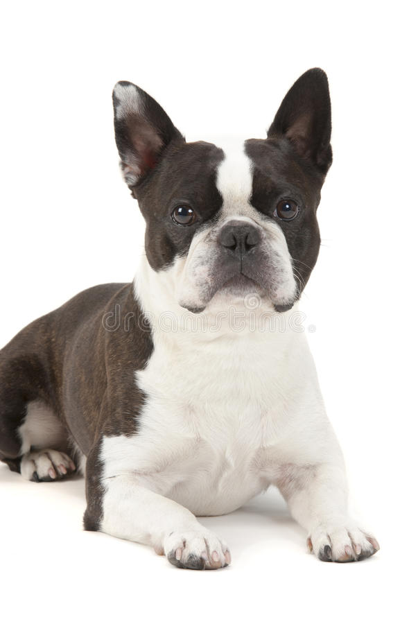 De hond van Boston Terrier in portret royalty-vrije stock foto's
