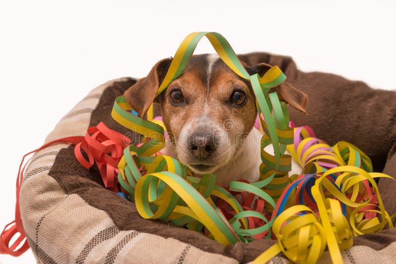 De hond van Carnaval Jack Russell royalty-vrije stock foto's