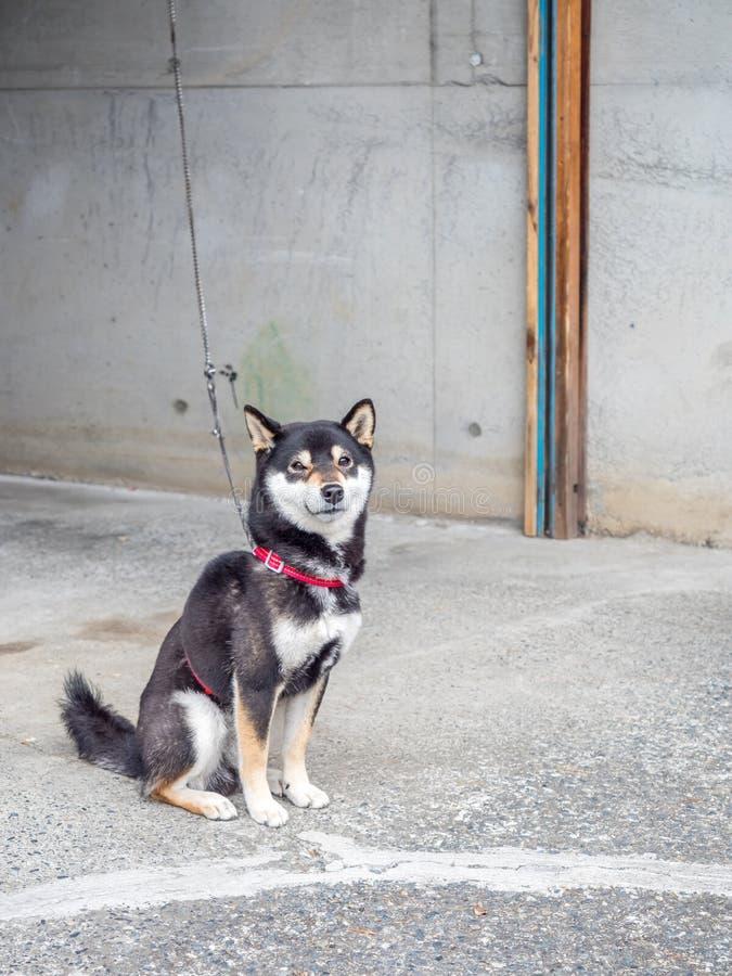 De hond van Chiba zit op vloer stock afbeeldingen