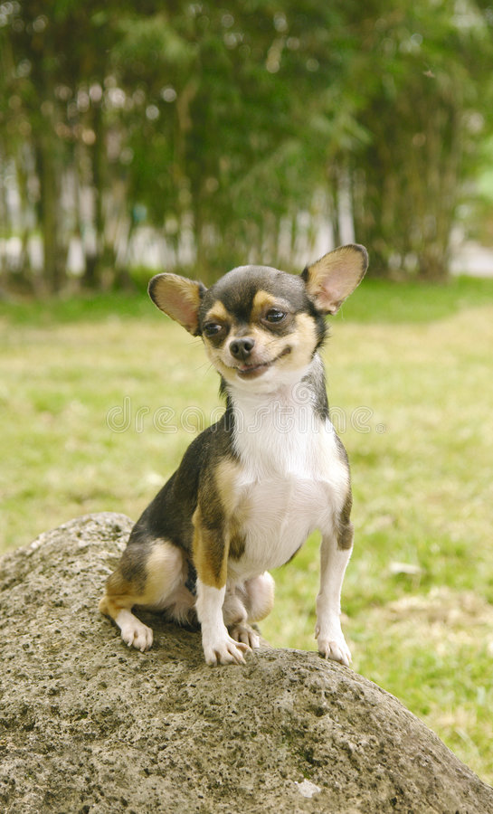 De hond van Chihuahua het glimlachen royalty-vrije stock fotografie
