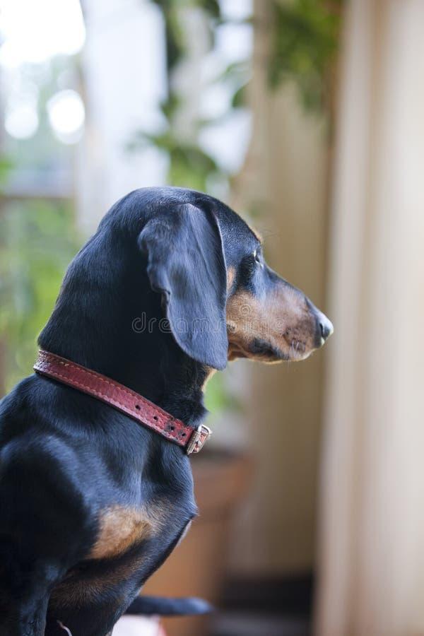 De hond van Daschund royalty-vrije stock foto's