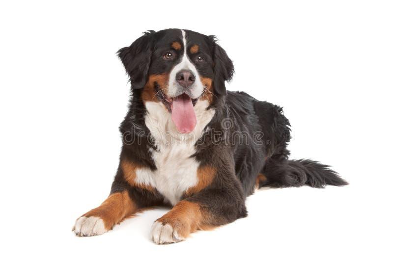 De Hond van de Berg van Bernese royalty-vrije stock fotografie
