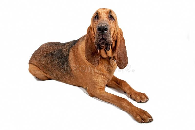 De Hond van de bloedhond die op Wit wordt geïsoleerdo stock foto's