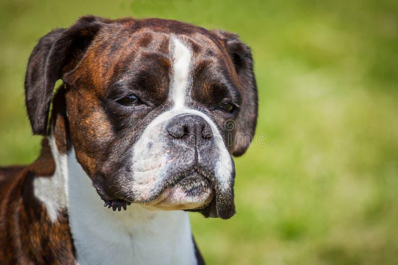 De hond van de bokser stock afbeelding