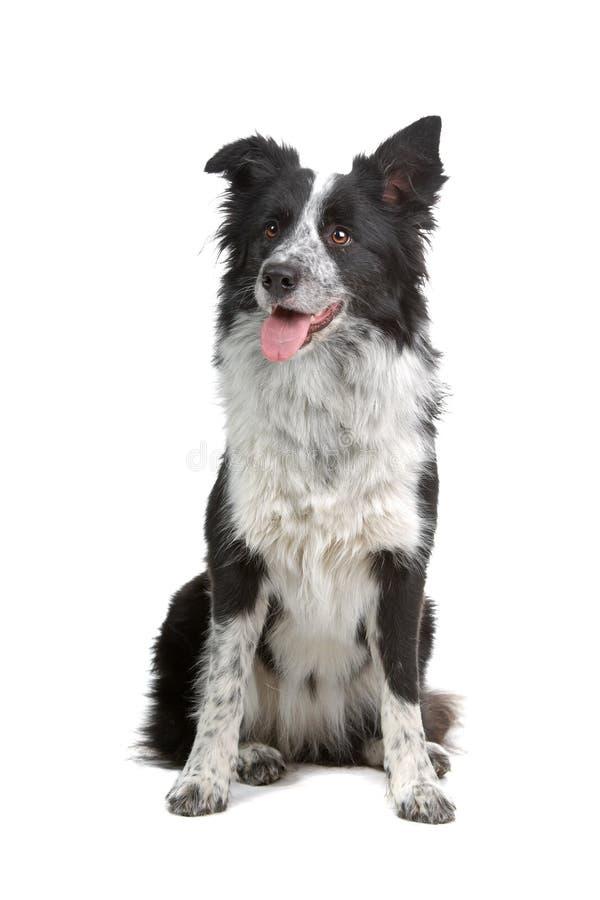 De hond van de Collie van de grens royalty-vrije stock foto