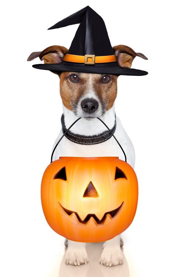 De hond van de de pompoenheks van Halloween stock foto's