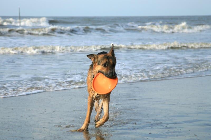De Hond van de Duitse herder royalty-vrije stock afbeelding