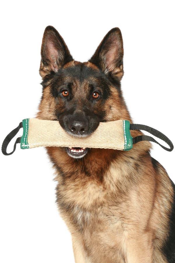 De hond van de Duitse herder met een stuk speelgoed stock foto