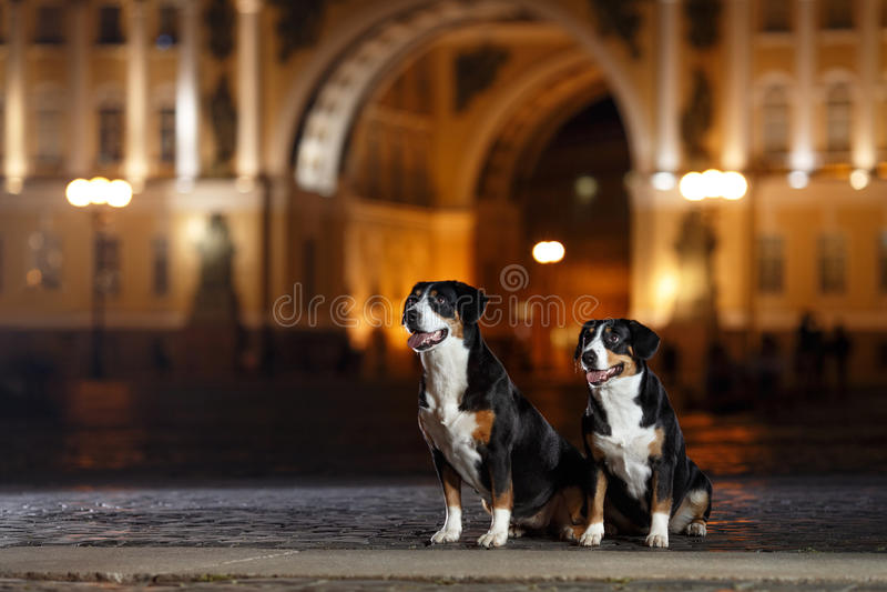 De Hond van de Entlebucherberg, Sennenhund-gangen op een nacht stock fotografie