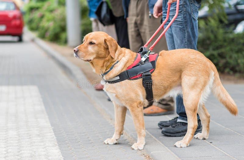 De hond van de gids helpt een blinde stock foto's