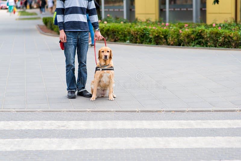 De hond van de gids helpt een blinde stock afbeeldingen