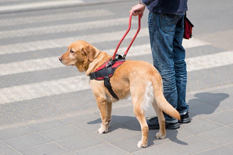 De hond van de gids helpt een blinde royalty-vrije stock afbeelding
