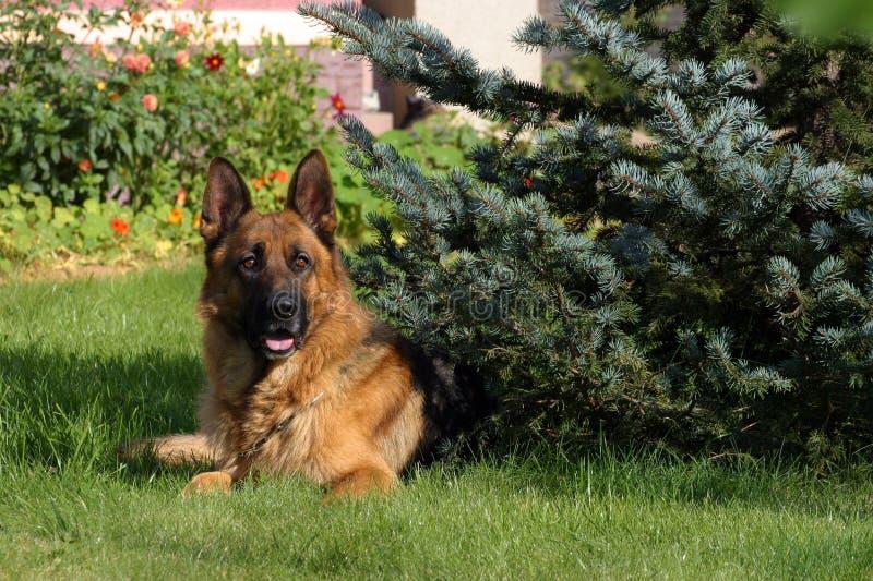 De hond van de herder met pijnboom stock foto