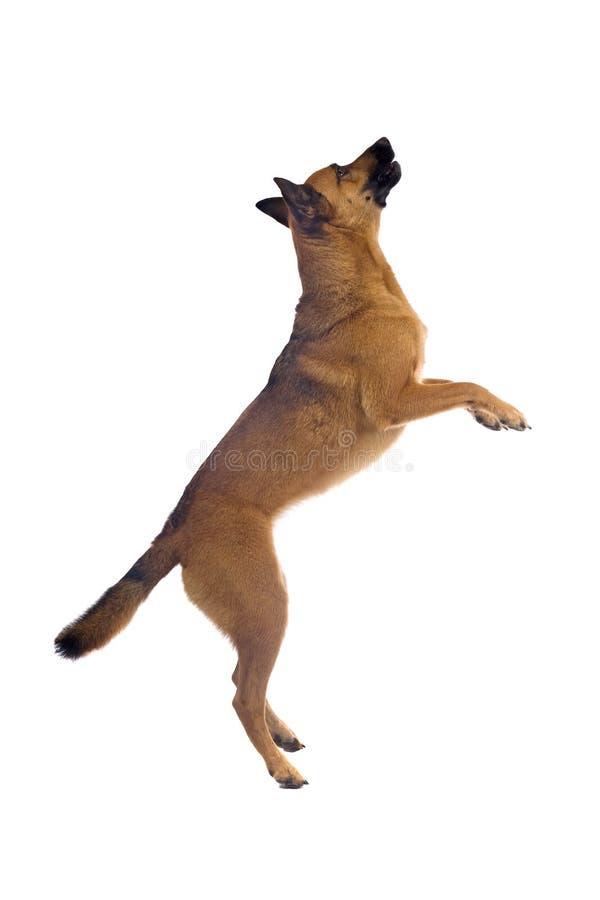 De hond van de Herder van België royalty-vrije stock afbeelding
