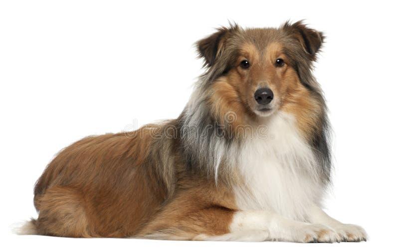 De hond van de Herder van Shetland, 5 jaar oud, het liggen royalty-vrije stock afbeelding