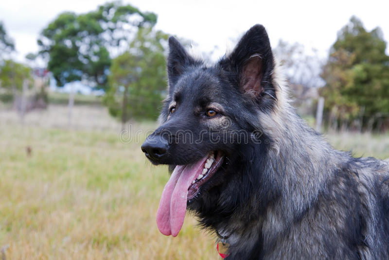 De hond van de Herder van Shiloh in weide stock afbeeldingen