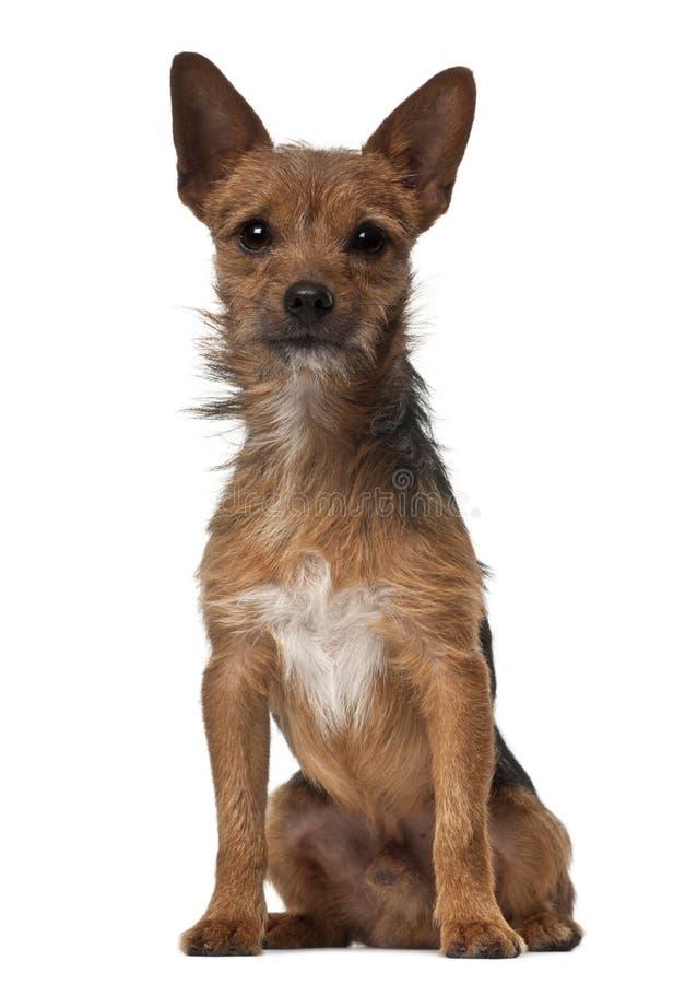 De hond van de kruising, 1 éénjarige stock afbeelding