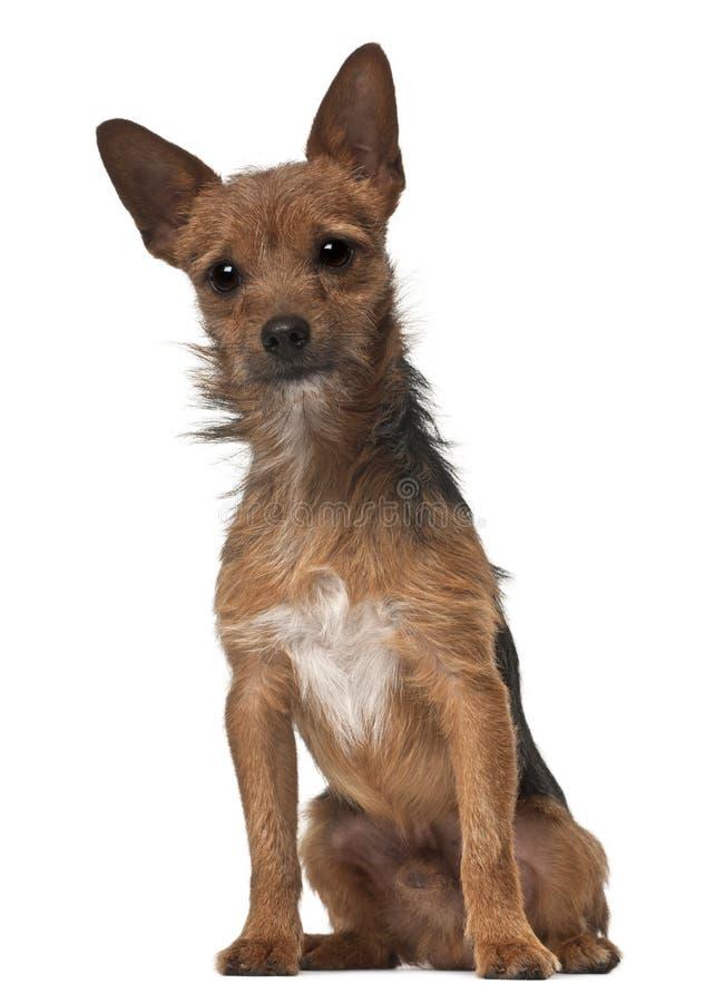 De hond van de kruising, 1 éénjarige, het zitten stock fotografie