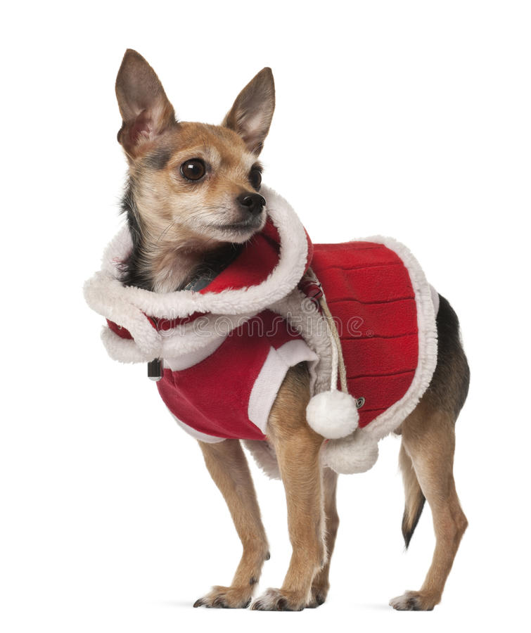 De hond van de kruising, 4 jaar oud stock foto