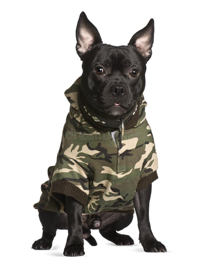 De hond van de kruising in camouflage, het zitten stock foto's