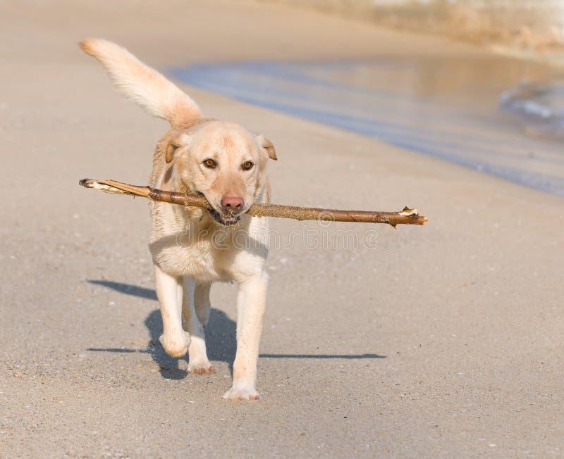 De hond van de labrador het spelen op het strand stock foto's