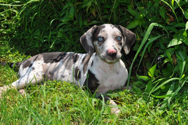 De Hond van de Luipaard van Louisiane Catahoula (Puppy) stock fotografie