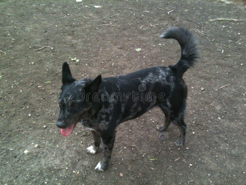 De hond van de luipaardstraathond royalty-vrije stock afbeelding
