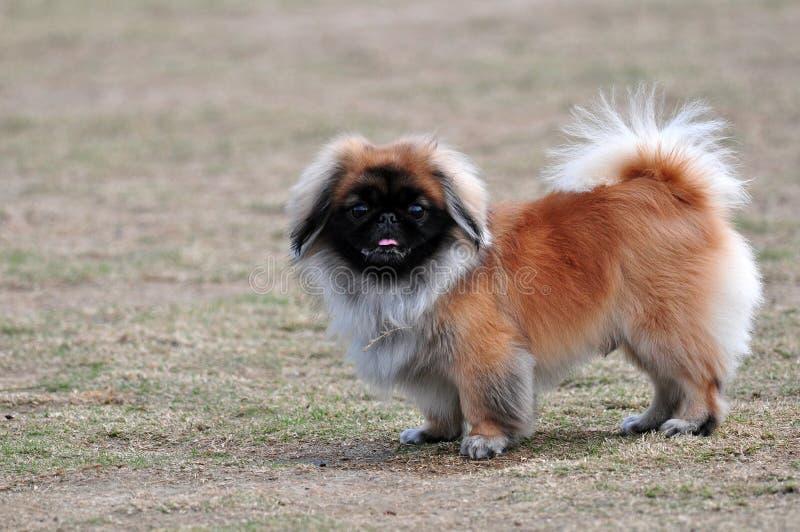 De hond van de pekinees royalty-vrije stock fotografie