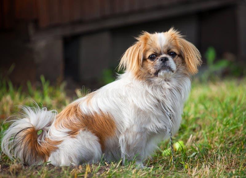 De hond van de pekinees royalty-vrije stock foto's