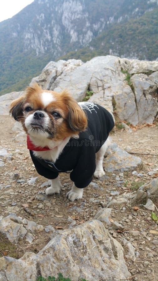 De hond van de pekinees stock fotografie