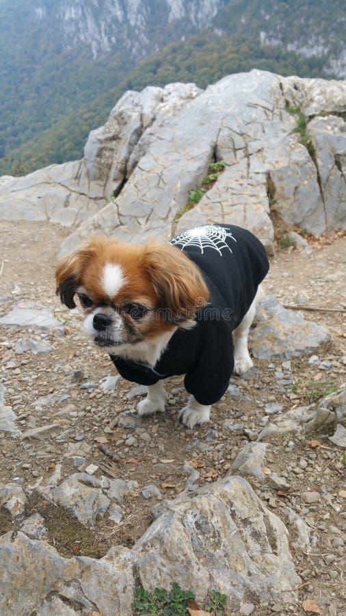 De hond van de pekinees stock afbeeldingen