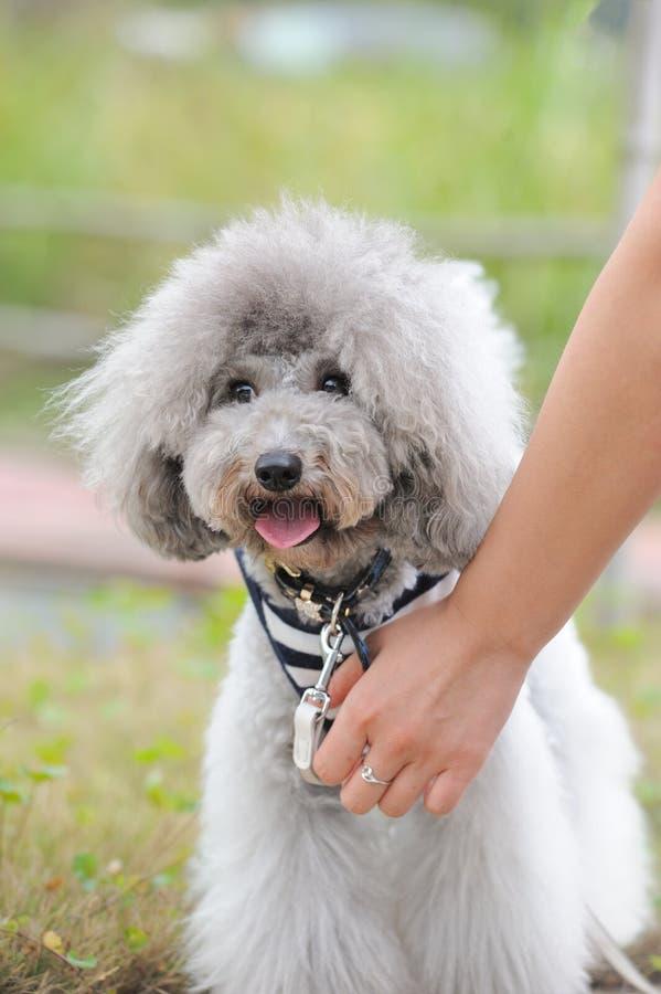 De hond van de poedel royalty-vrije stock fotografie