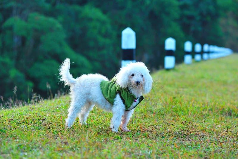 De hond van de poedel op het gebied stock afbeeldingen