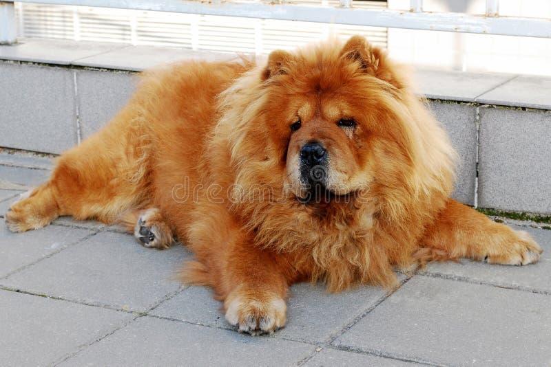 De hond van de ruggegratenchow-chow stock afbeeldingen