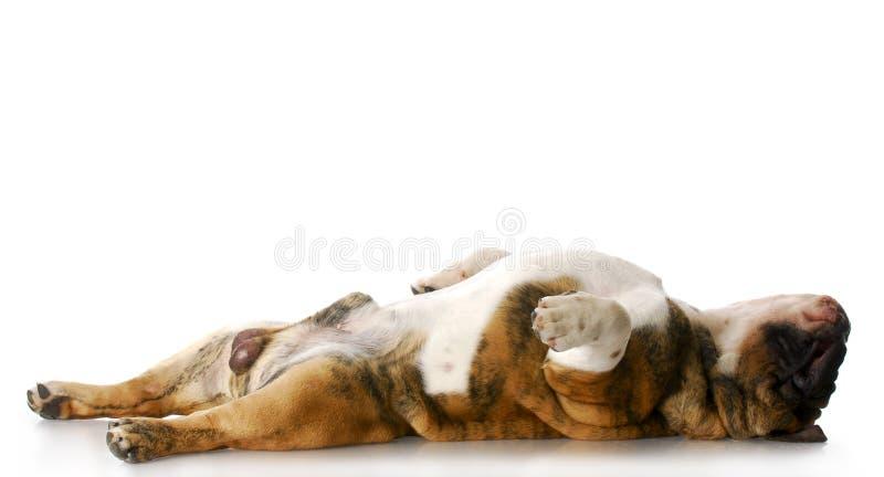 De hond van de slaap royalty-vrije stock fotografie