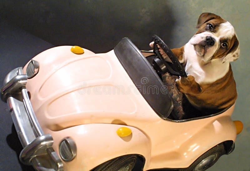 De hond van de stier in roze auto stock afbeeldingen