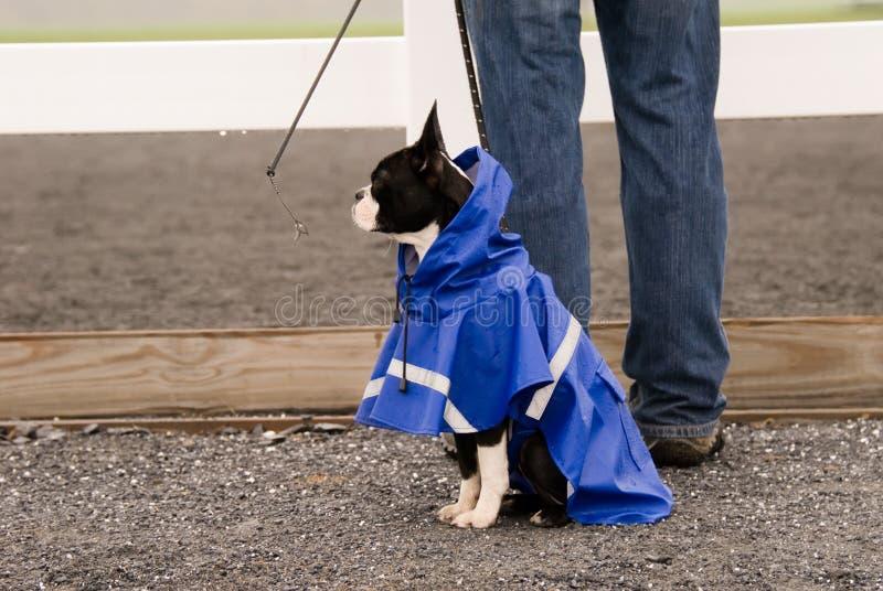 De hond van de Terriër van Boston in blauwe regenjas. royalty-vrije stock fotografie