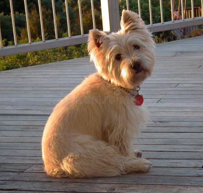 De hond van de Terriër van de steenhoop stock foto