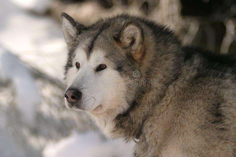 De hond van de trekking stock fotografie