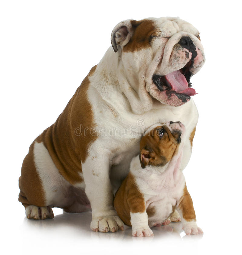 De hond van de vader en van de zoon stock fotografie