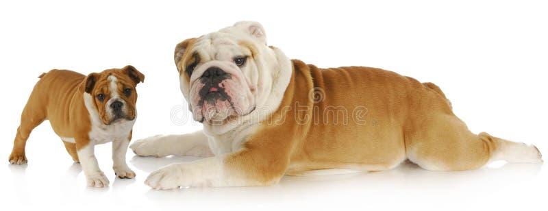 De hond van de volwassene en van het puppy stock foto's
