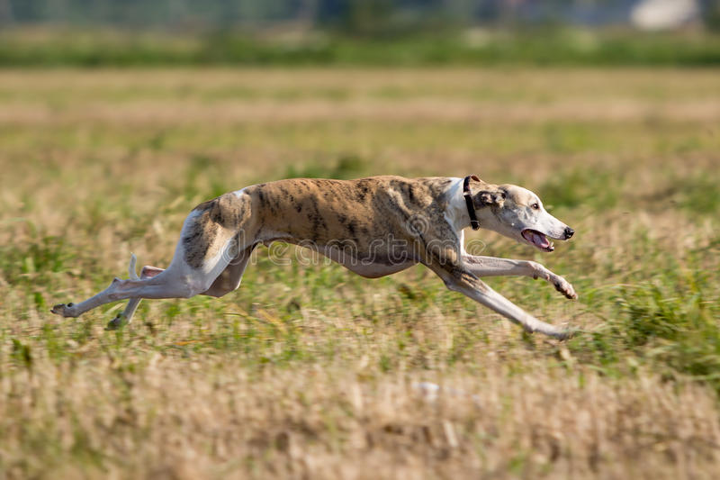 De hond van de whippet royalty-vrije stock foto