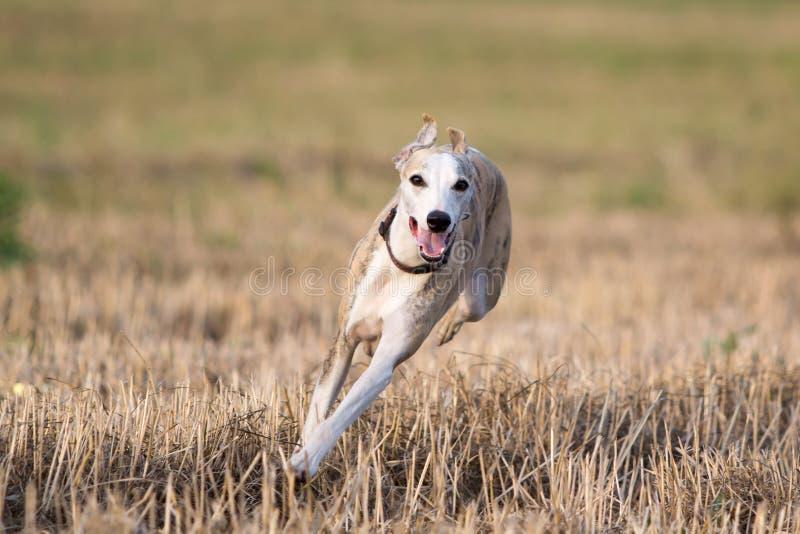 De hond van de whippet royalty-vrije stock fotografie