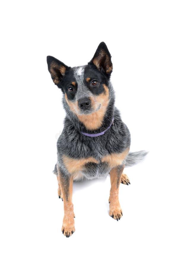 De hond van de zitting stock foto