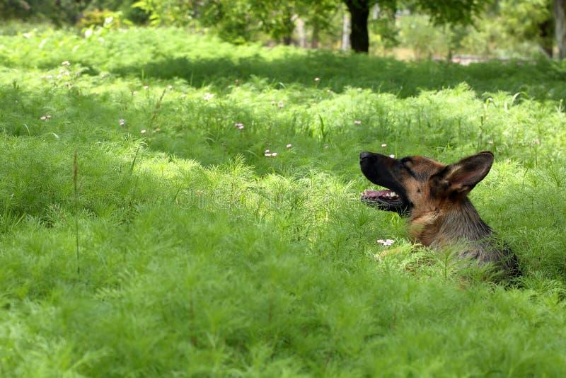 De hond van de Duitse herder in de tuin royalty-vrije stock afbeeldingen