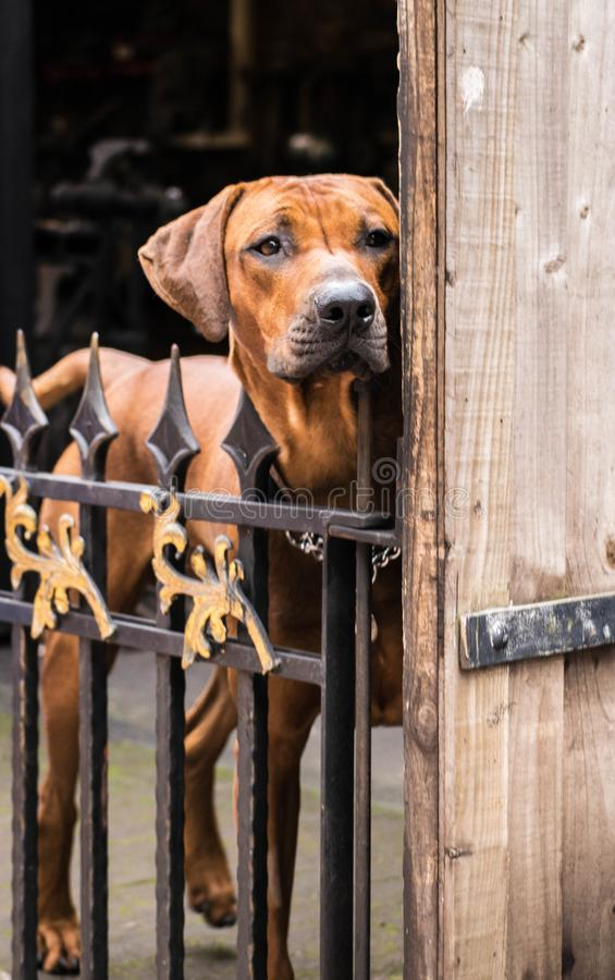 De hond van een smid stock afbeelding