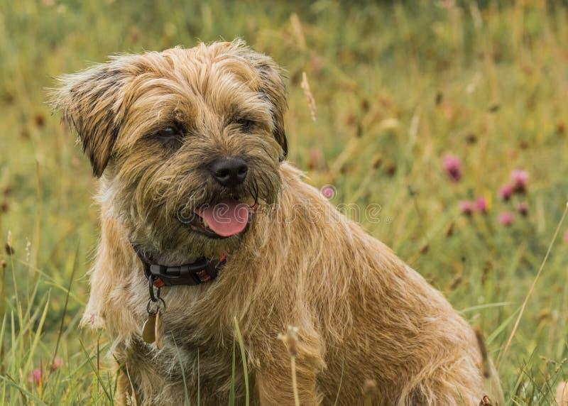 De Hond van grensterrier stock foto's